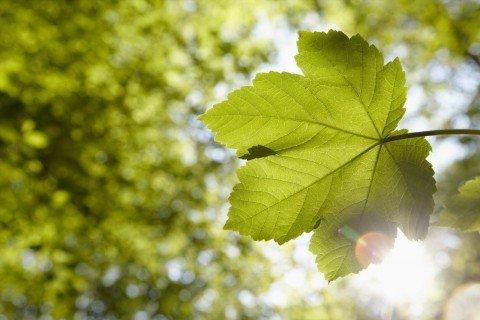 Leaf with sun shining through it